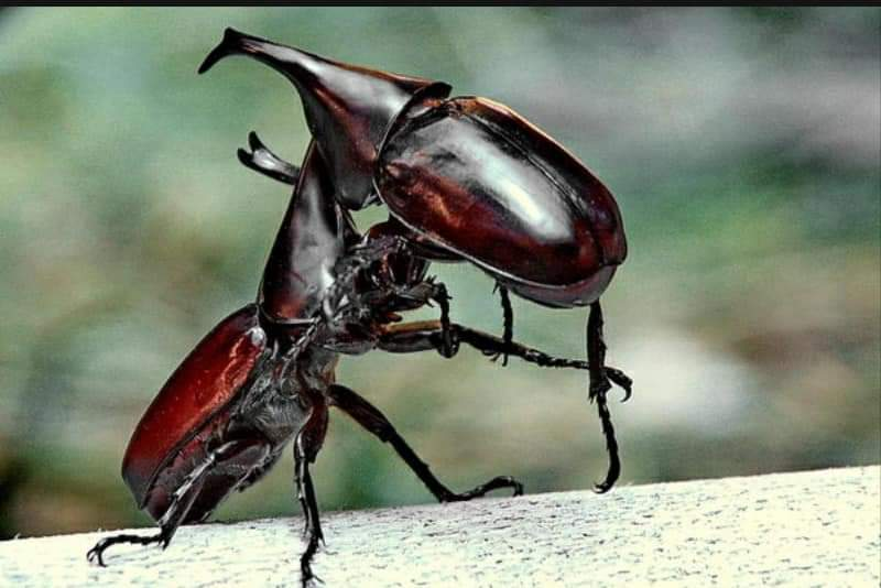 Horned beetle