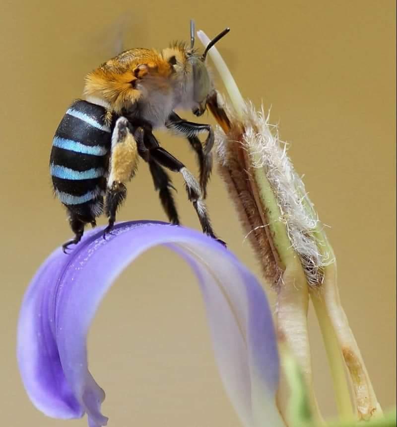 Amegilla cingulata প্রজাতির মৌমাছি আর Acanthus ilicifolius প্রজাতির ফুল।