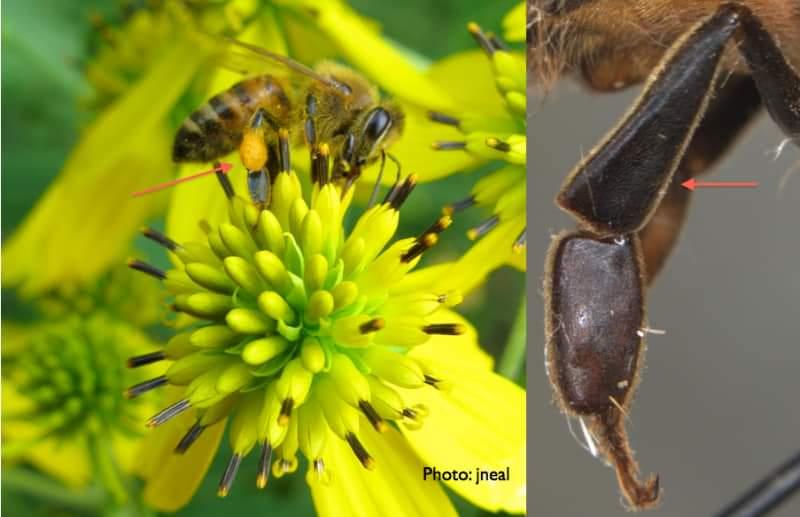 Pollen Busket