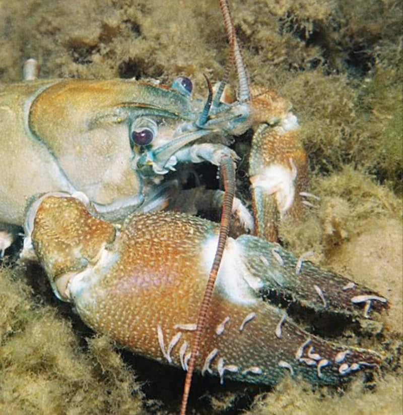 গ্রাহক Crayfish ও পরিষ্কারক Crayfish Worm
