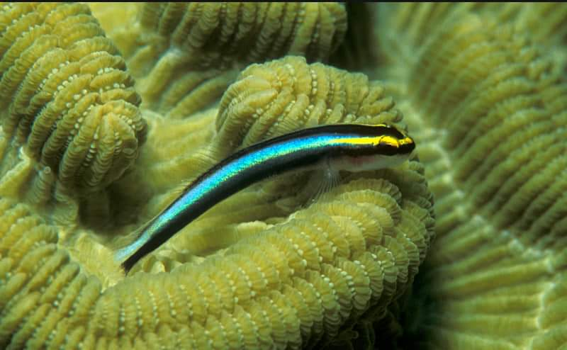 Cleaner Goby