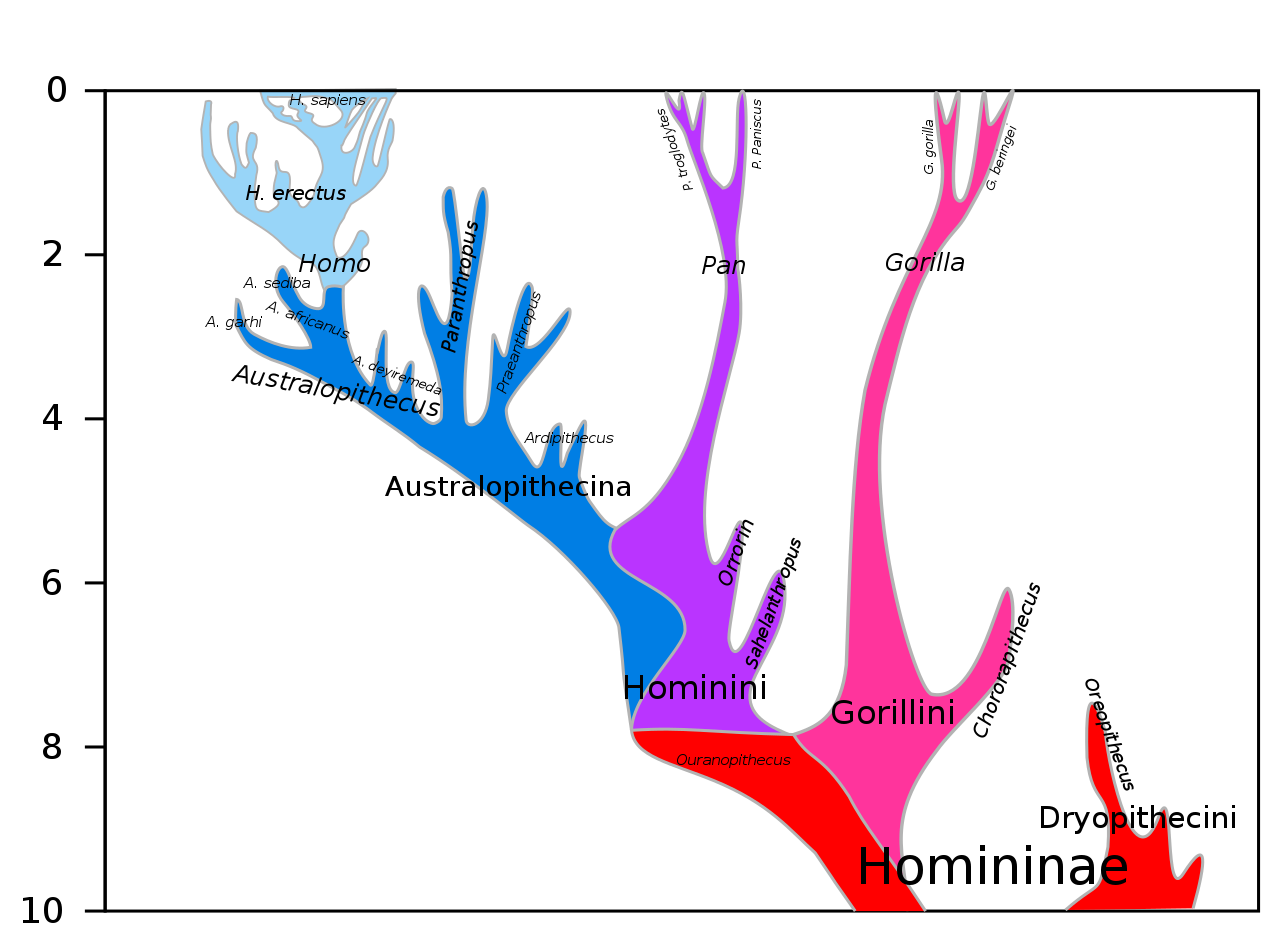 Hominini lineage