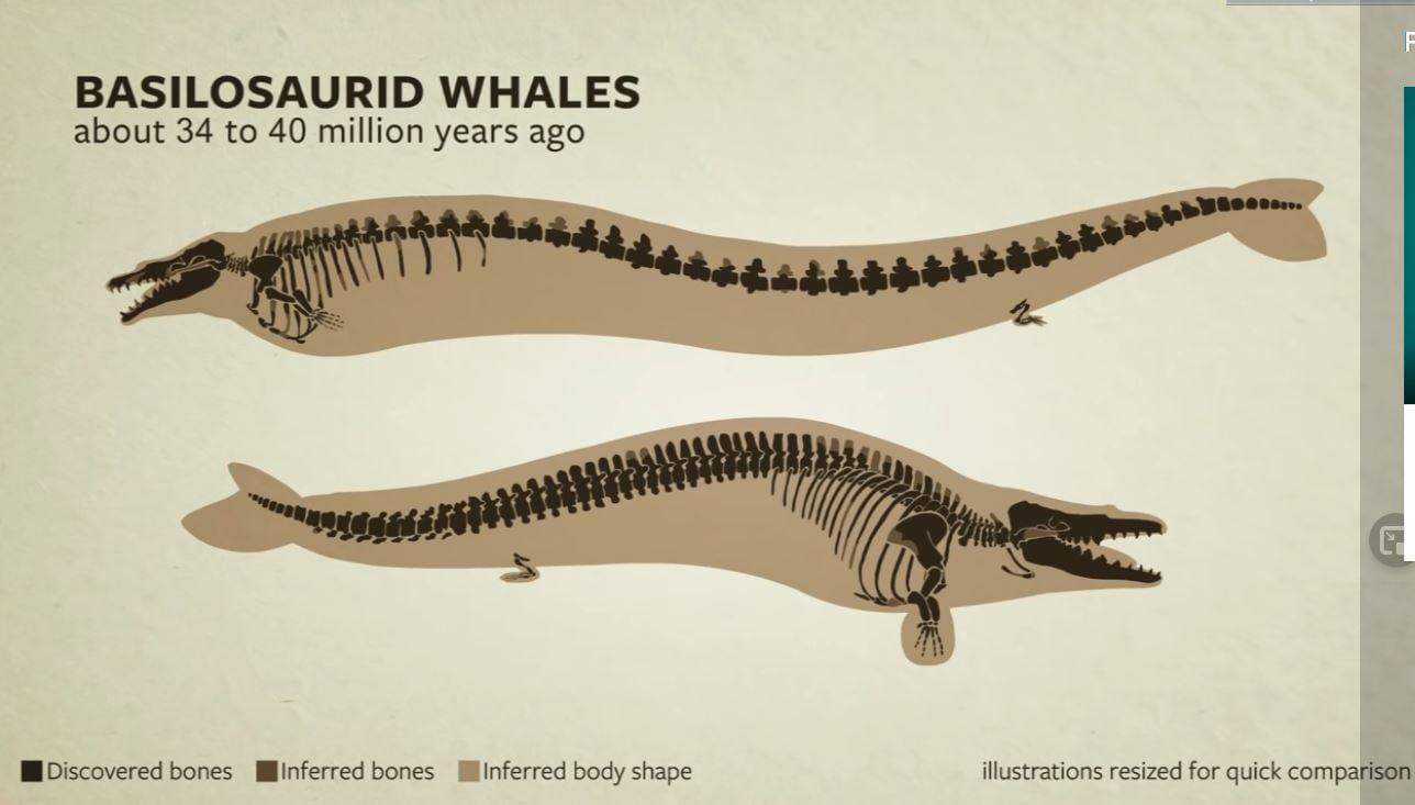 Basilosaurid এর দুইটি প্রজাতির চিত্র।