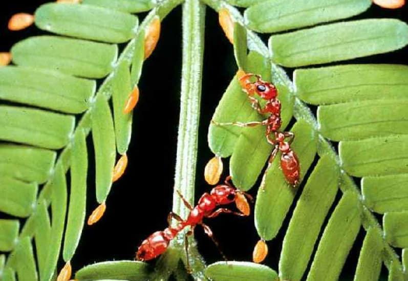 Ants eating beltian body (yellow)