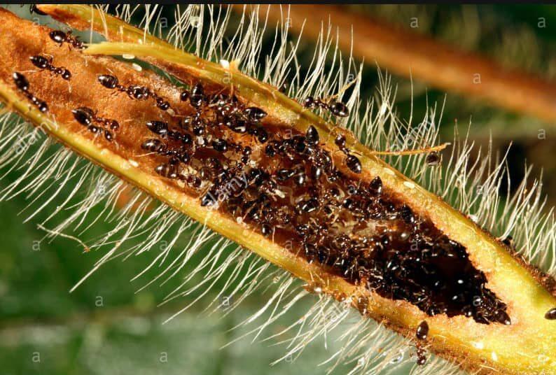 Duroia hirsute with Lemon ants