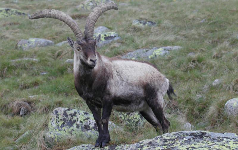 Spanish wild goat