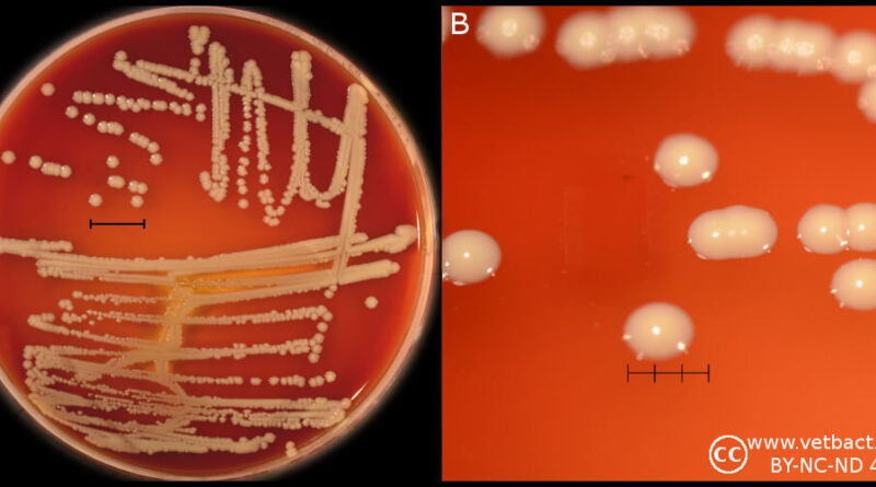 Staphylococcus-hominis-on-Blood-Agar