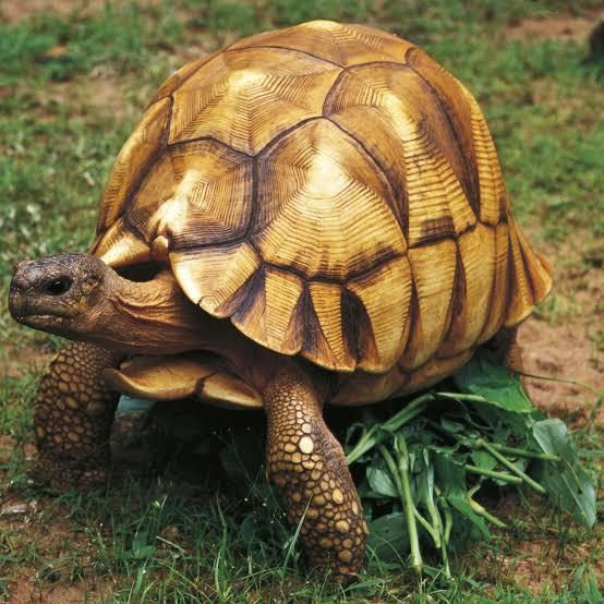 Angonoka Tortoise
