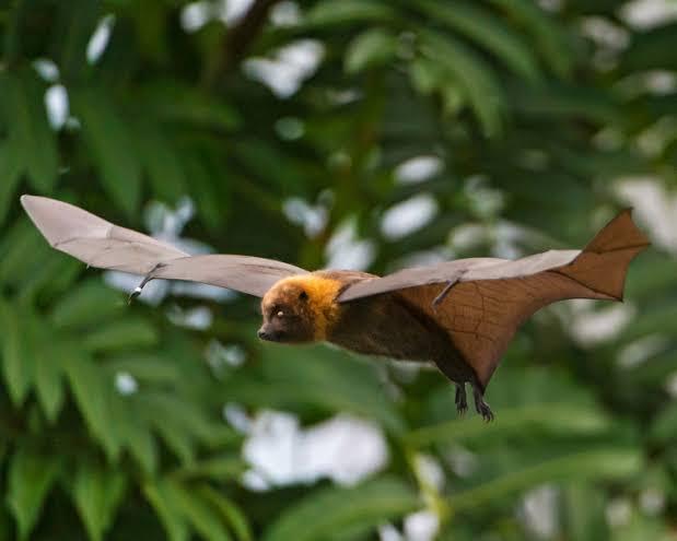 Madagascan flying Fox