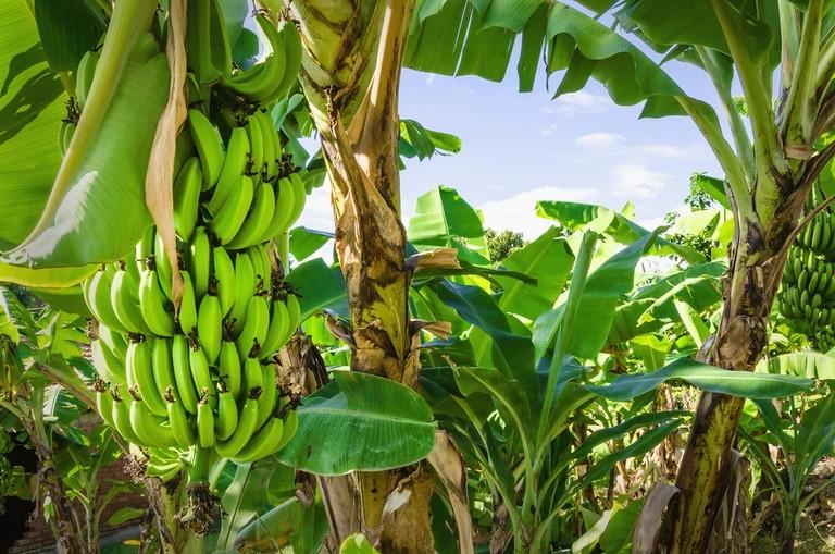 Madagascan native banana