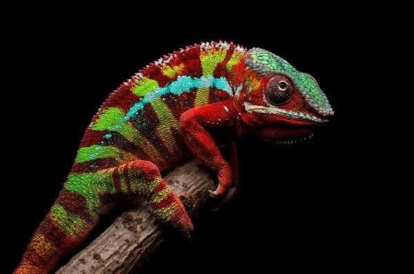 Panther Chameleone
