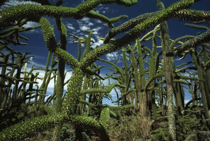 madagascan Octopus tree